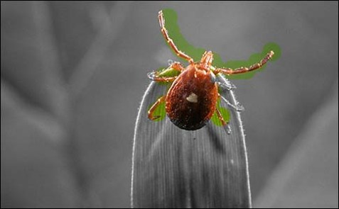 An adult female lone star tick.