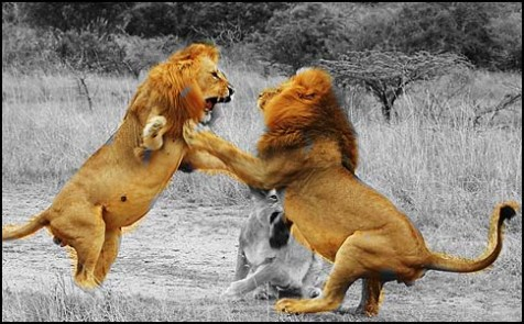 lions-fighting
