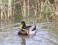 Littman-022213-Duck