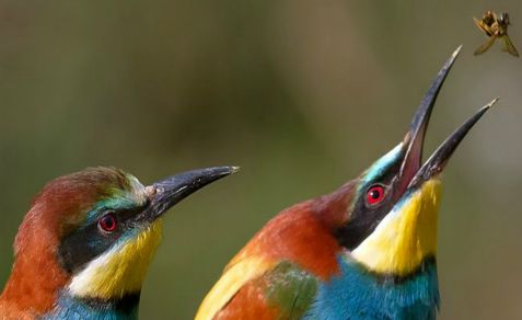 Turkey takes a year to admit that an Israeli bee-eater that fell dead on a farm is not a Mossad spy