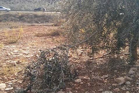 An Israeli-owned olive tree in grove that was pillaged by Arabs.