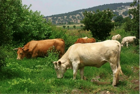 Cows in the Emek Yizrael valley. April 30, 2012.