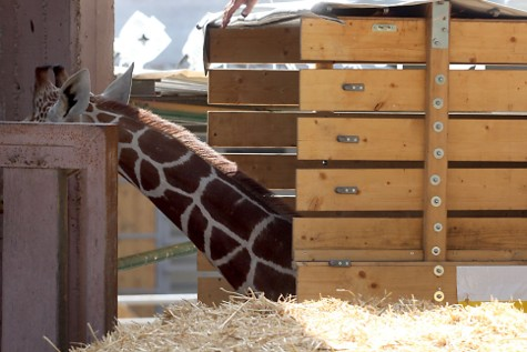 Giraffe in a Box
