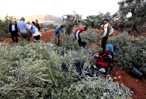 Palestinian Arabs inspect piles of olive tree prunings left by vandals in Qaryut, Oct 2013.