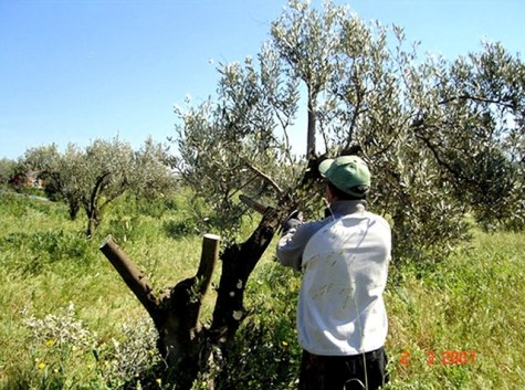 An Italian grower cuts off limbs to prepare an olive tree for top-grafting. Image from http://www.joe-ray.com/motherland/archive/2007/03/ Read more at http://libertyunyielding.com/2015/01/04/passion-olive-trees-settlers-pelt-u-s-diplomatic-personnel-west-bank-video/#sGoOoAeTfE4tsLTX.99