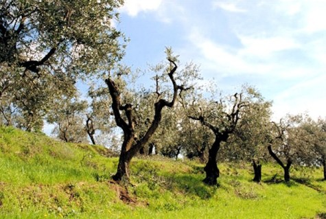 Olive-Tuscan