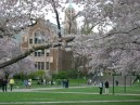 University of Washington Quad with Cherry Blossoms