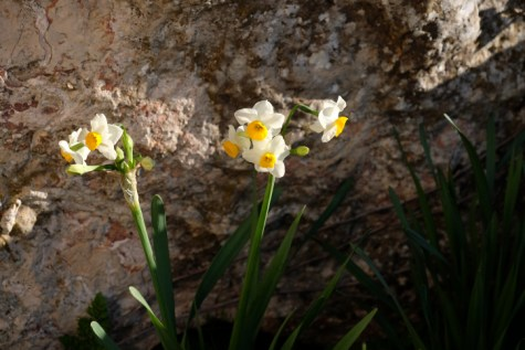 Daffodils growing in Gush Etzion