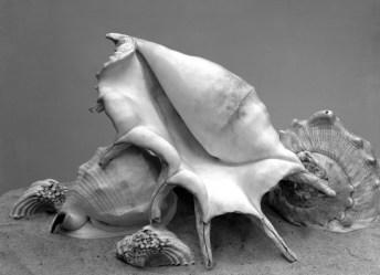 Imogen Cunningham Five Shells um 1930, späterer Abzug Silbergelatine, 35,6 x 45,7 cm © 1930-2017 Imogen Cunningham Trust