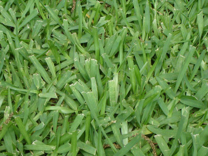 Large Of Bahia Grass Seed