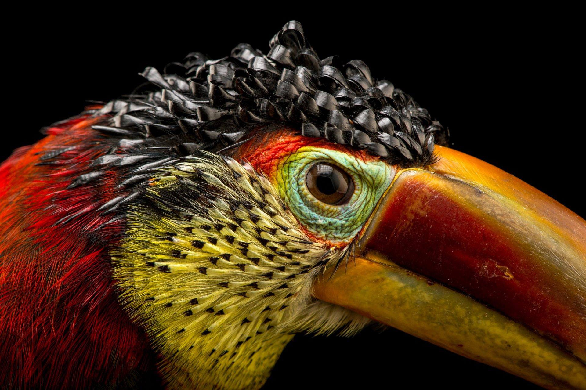 BIR050 00085   Joel Sartore Picture of a curl crested aracari  Pteroglossus beauharnaesii  at the  Dallas World Aquarium