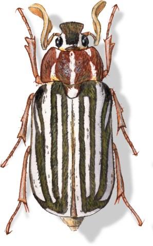 C Polyphylla decemlineata