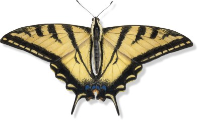 L Papilio rutulus whole