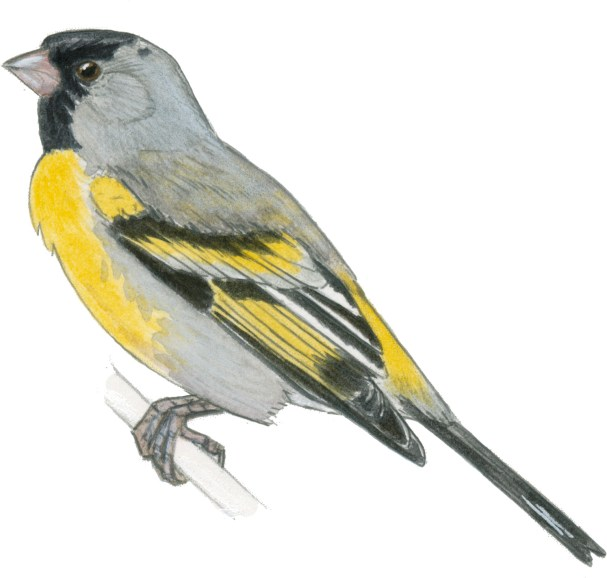 goldfinch lawrences m