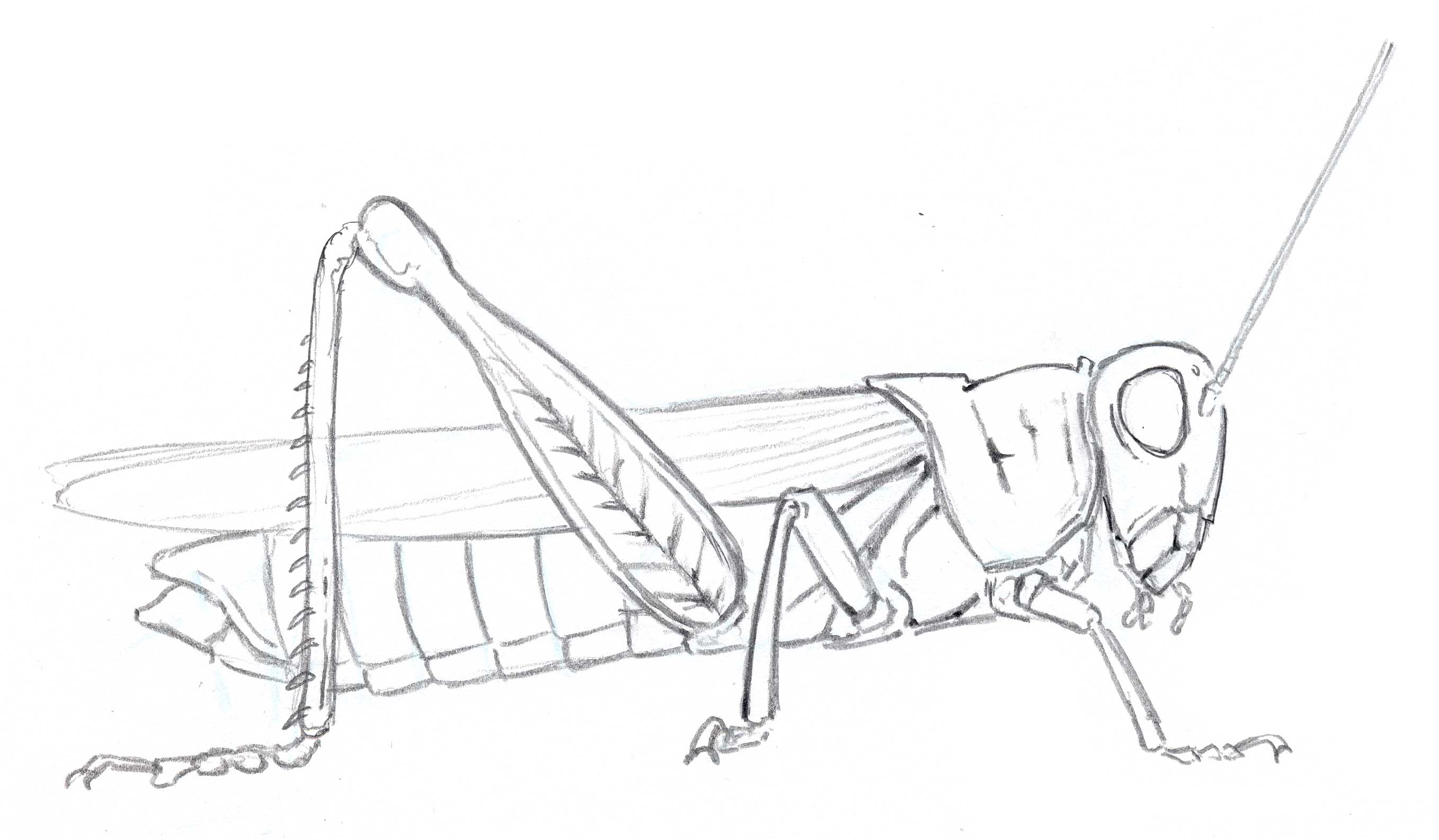 Line Drawing Insects : How to draw insects part john muir laws