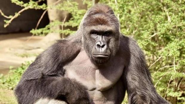 Zoológico decide abater gorila depois de criança cair em sua jaula e gera polêmica