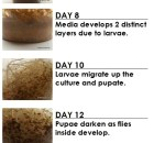 life cycle of a fruit fly culture melano for product description