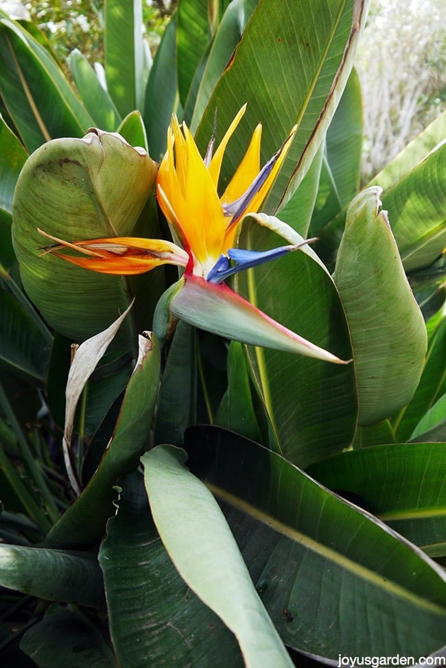Bird Of Paradise Plant Care   Bird of paradise plant care   Brown Edges
