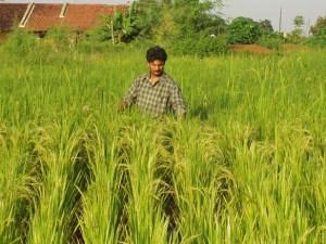 Large Healthy SRI plants
