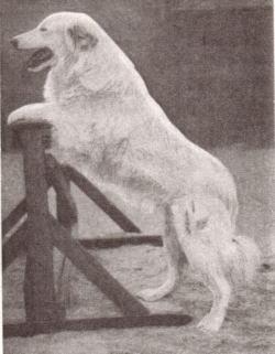 ※古代のドイツ・シェパード犬