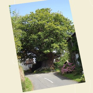 Great Oak Tree, Eardisley Angle - Ref L10