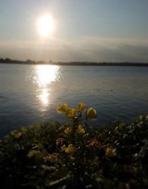 Yellow Flowers at Sunrise
