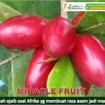 Bibit Miracle Fruit 70 cm