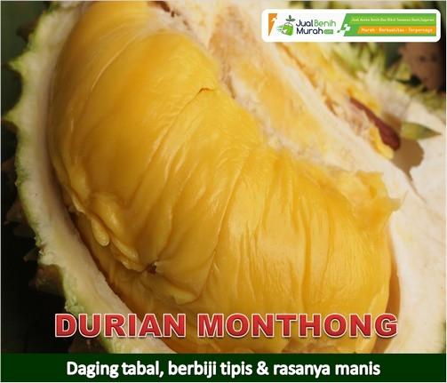 Bibit Buah Durian monthong