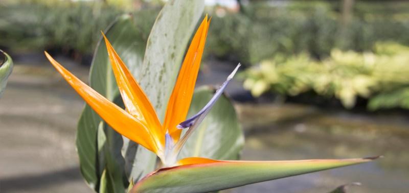 Large Of Orange Bird Of Paradise