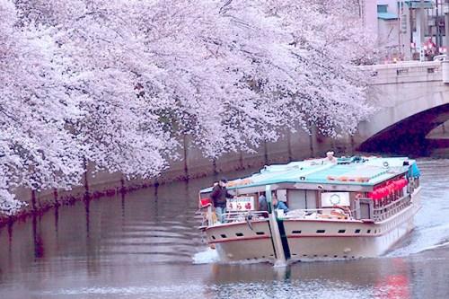 2014-urasima-sakura