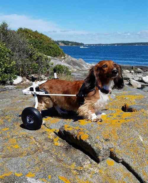 Medium Of Dog Wheelchair Diy