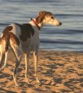 History of The Sighthound