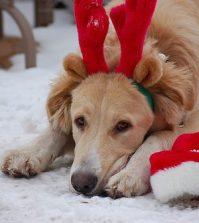 7613136350_40f979c9a5_dog-christmas
