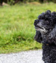 older-poodle