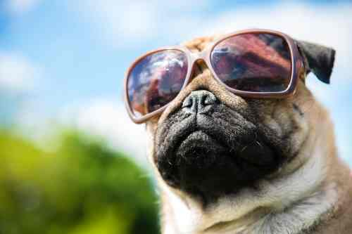 Engaging Glasses Meme Dogs Glasses Dog Sunglasses Keep Your Pup Dogs
