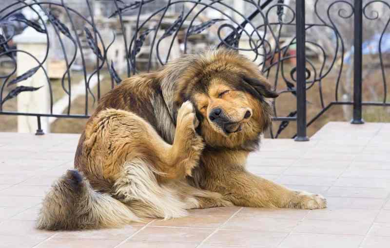 Large Of Dog Itching Benadryl