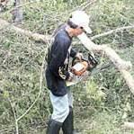 PAKAI CHAINSAW: Dua pekerja sedang memotong pohon yang tumbang di tepi jalan Desa Grajagan, Kecamatan Purwoharjo, kemarin