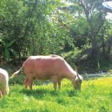 Sukiran-mengawasi-dua-ekor-kerbau-albino-miliknya-di-bantaran-Sungai-Kalisetail,-Desa-Kecamatan-Tegalsari,-Banyuwangi,-kemarin
