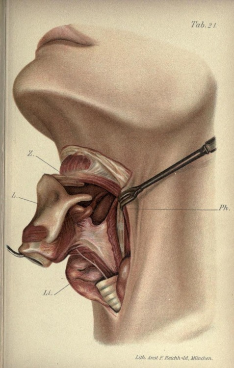 Anatomy of the throat from 'Atlas and Epitome of Operative Surgery' by Dr. Otto Zukerkandi, 1902.