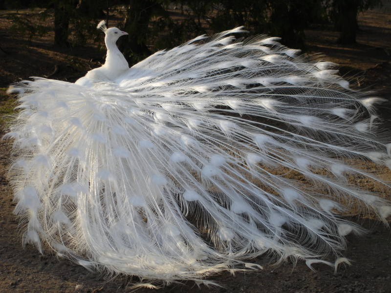White_Peacock_by_MapleRose