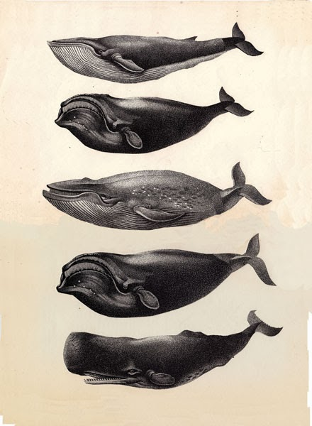 cetacei