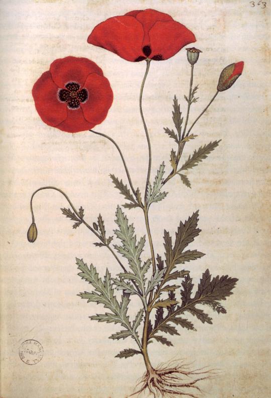 Poppies from the manuscript Codice Rinio Codice Roccobonella, 1445.