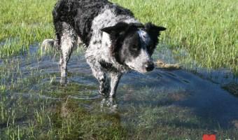 Rural Dogs in Water:  Irrigation Fun