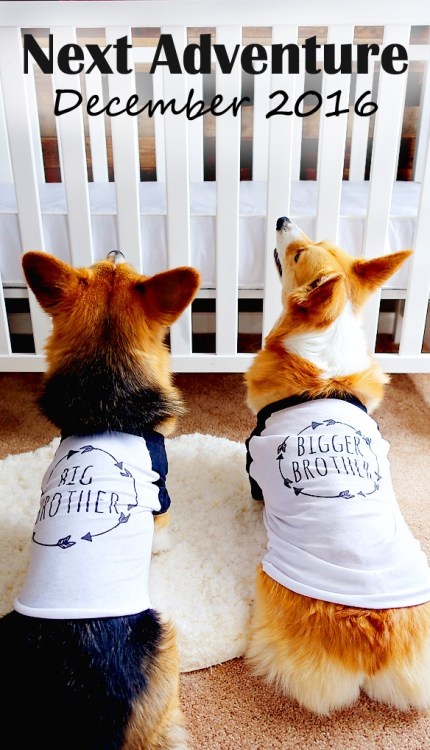 Baby-Announcement-with-Corgi-Dogs-01