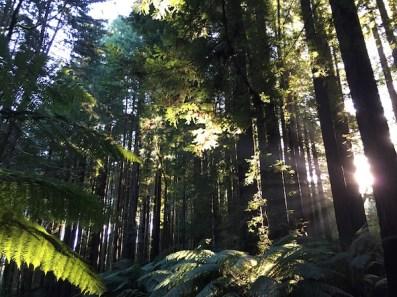 Californian Redwood Forest, The Otways, Great Ocean Road
