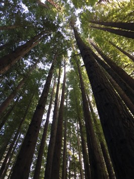 Big trees in the Redwood Forest, The Otways, Great Ocean Road