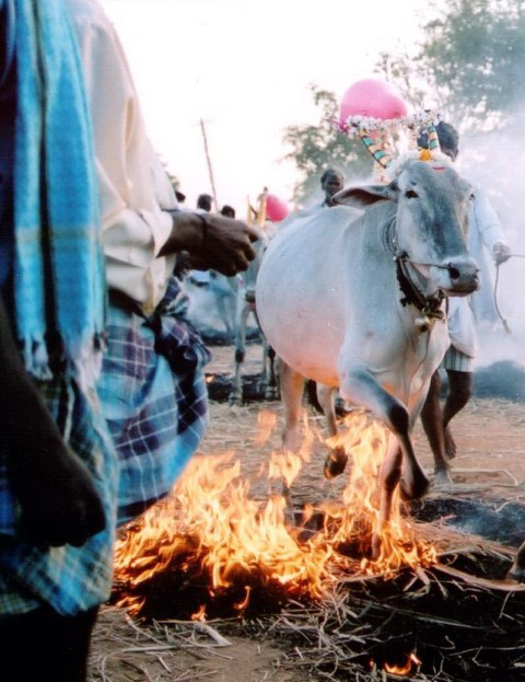 Shankranti, cattle in Mandya