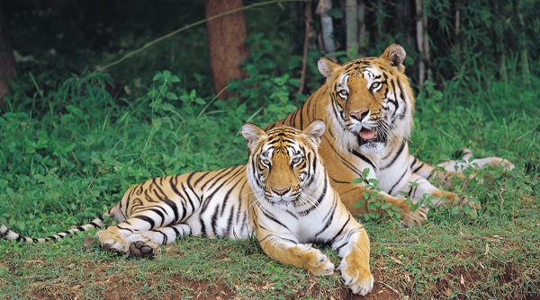 Tigers at Bannerghatta National Park in Bangalore. Photo source wildlifeindia.info