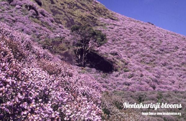 neelakurinji blooms in chikmagalur