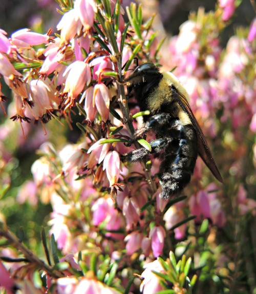 A bumble bee on heather